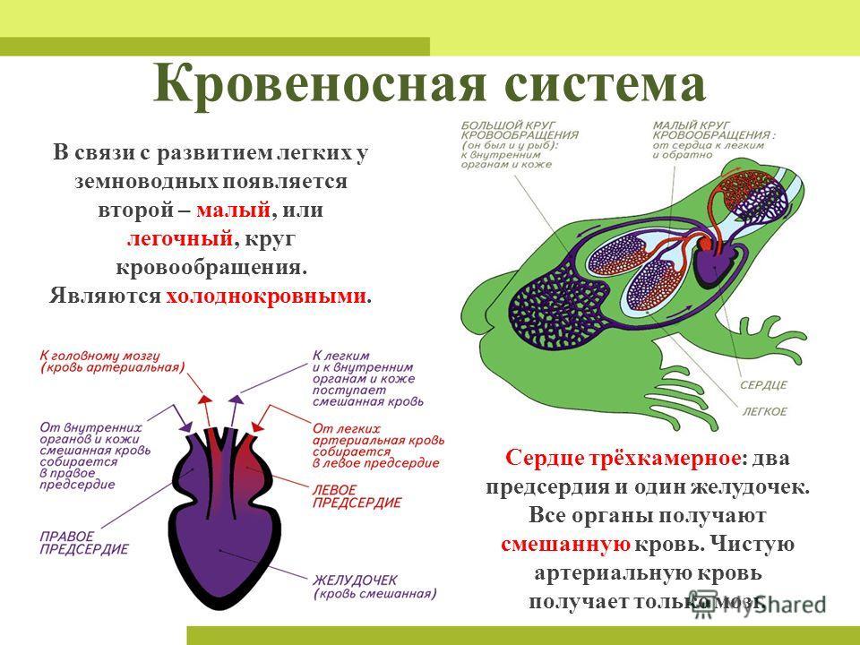 Кровеносная система В связи с развитием легких у земноводных появляется второй – малый, или легочный, круг кровообращения. Являются холоднокровными. Сердце трёхкамерное: два предсердия и один желудочек. Все органы получают смешанную кровь. Чистую арт