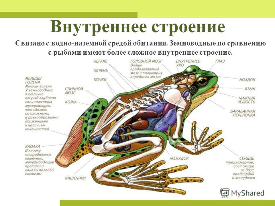 Внутреннее строение Связано с водно-наземной средой обитания. Земноводные по сравнению с рыбами имеют более сложное внутреннее строение.