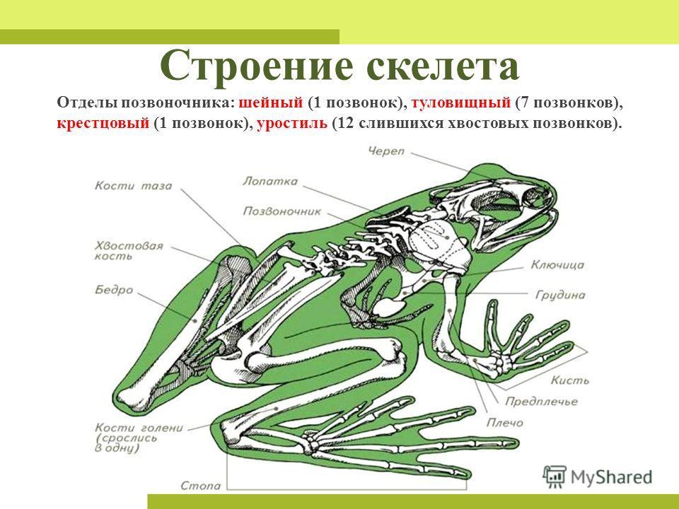 Строение скелета Отделы