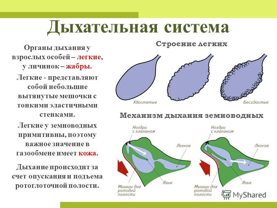Дыхательная система Механизм дыхания земноводных Строение легких Легкие - представляют собой небольшие вытянутые мешочки с тонкими эластичными стенками. Легкие у земноводных примитивны, поэтому важное значение в газообмене имеет кожа. Дыхание происхо