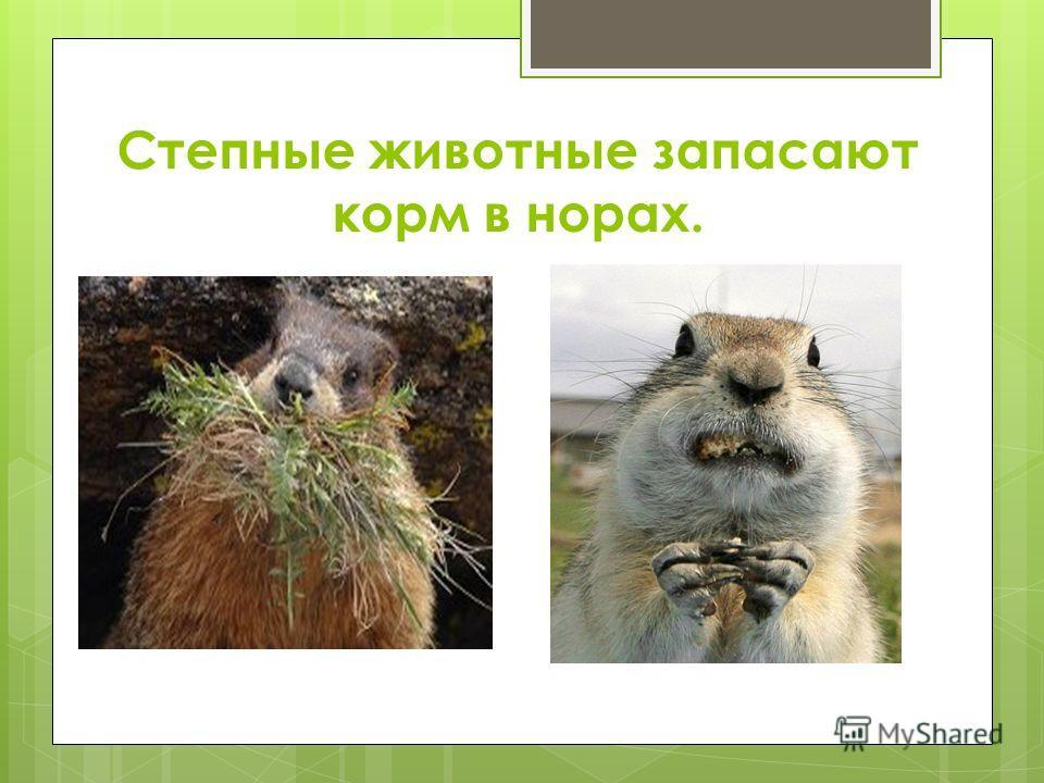 Степные животные запасают корм в норах.