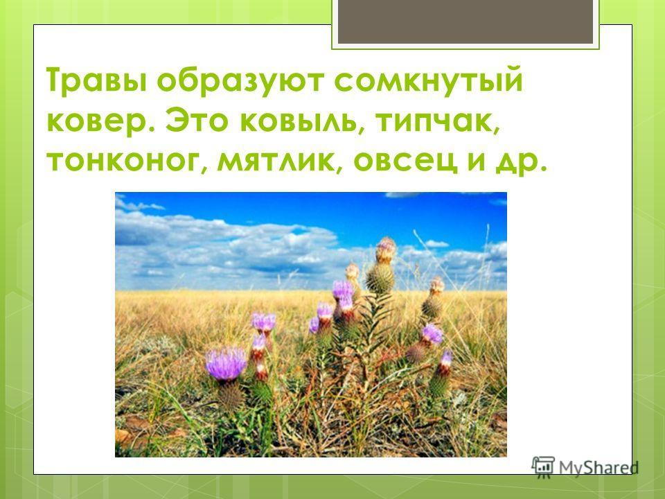 Травы образуют сомкнутый ковер. Это ковыль, типчак, тонконог, мятлик, овсец и др.