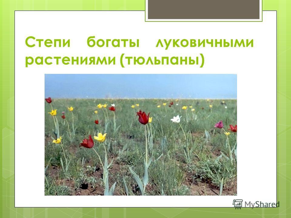 Степи богаты луковичными растениями (тюльпаны)