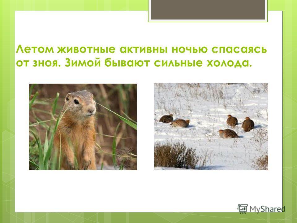 Летом животные активны ночью спасаясь от зноя. Зимой бывают сильные холода.