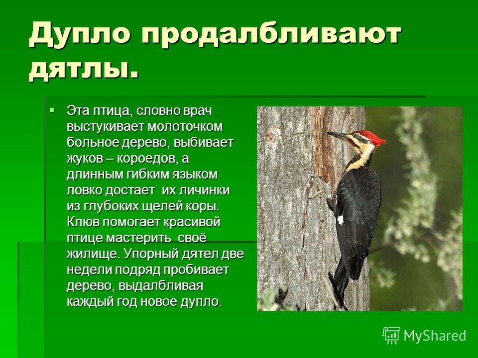 Дупло продалбливают дятлы. Эта птица, словно врач выстукивает молоточком больное дерево, выбивает жуков – короедов, а длинным гибким языком ловко достает их личинки из глубоких щелей коры. Клюв помогает красивой птице мастерить своё жилище. Упорный д