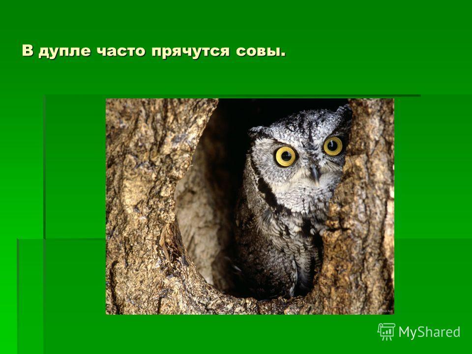 В дупле часто прячутся совы.
