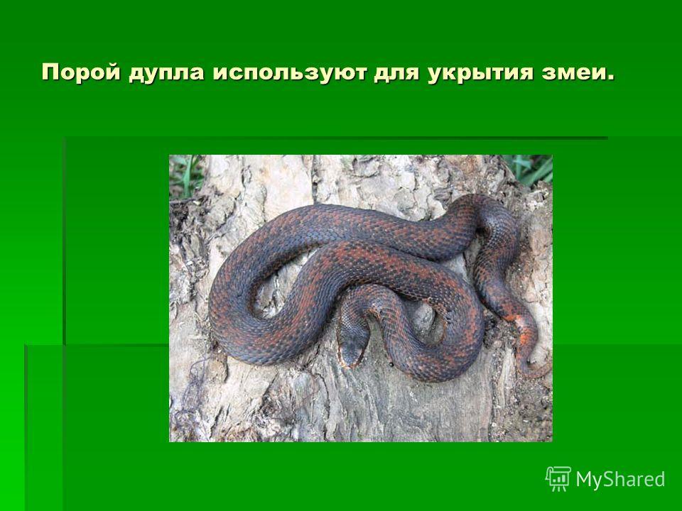 Порой дупла используют для укрытия змеи.