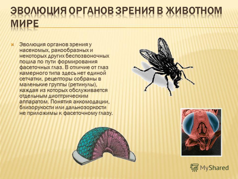 Эволюция органов зрения у насекомых, ракообразных и некоторых других беспозвоночных пошла по пути формирования фасеточных глаз. В отличие от глаз камерного типа здесь нет единой сетчатки, рецепторы собраны в маленькие группы (ретинулы), каждая из кот