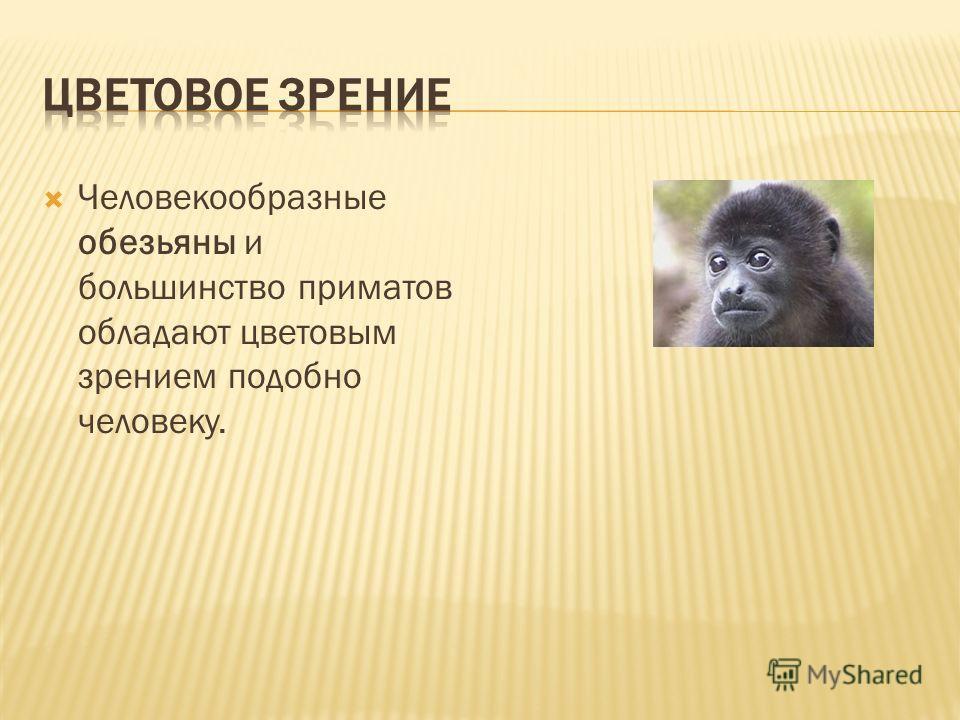 Человекообразные обезьяны и большинство приматов обладают цветовым зрением подобно человеку.