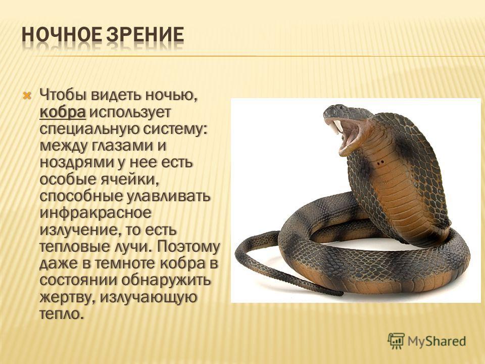 Чтобы видеть ночью, кобра использует специальную систему: между глазами и ноздрями у нее есть особые ячейки, способные улавливать инфракрасное излучение, то есть тепловые лучи. Поэтому даже в темноте кобра в состоянии обнаружить жертву, излучающую те