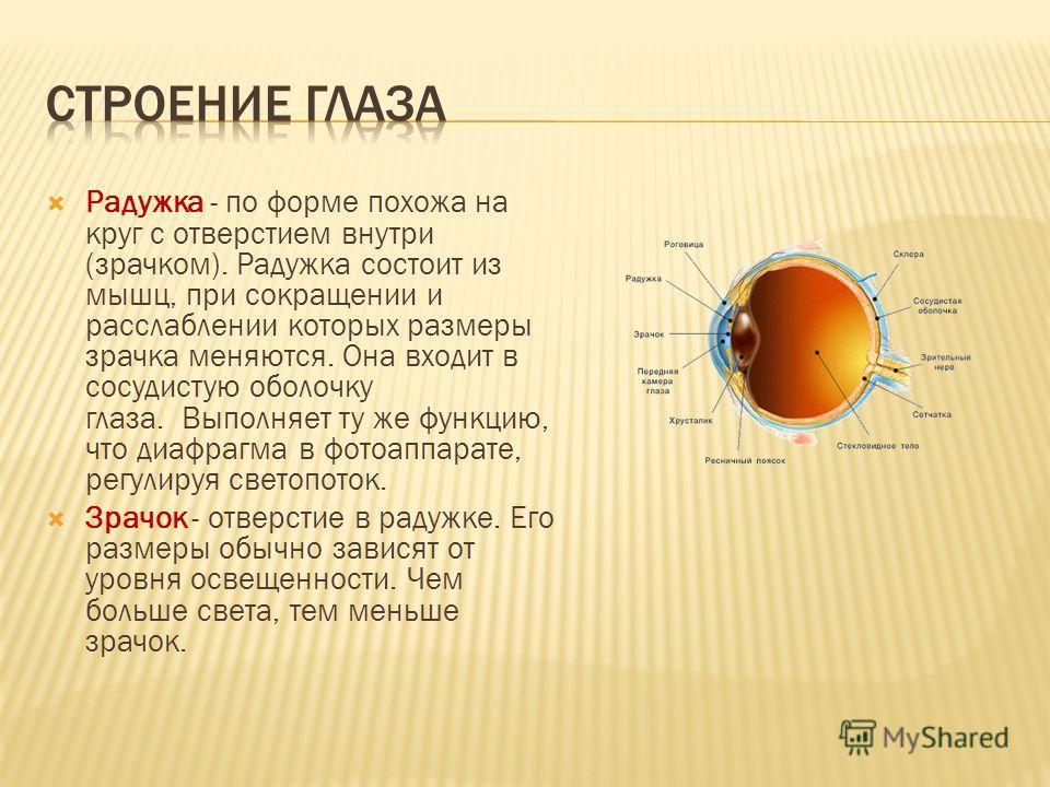 Радужка - по форме похожа на круг с отверстием внутри (зрачком). Радужка состоит из мышц, при сокращении и расслаблении которых размеры зрачка меняются. Она входит в сосудистую оболочку глаза. Выполняет ту же функцию, что диафрагма в фотоаппарате, ре