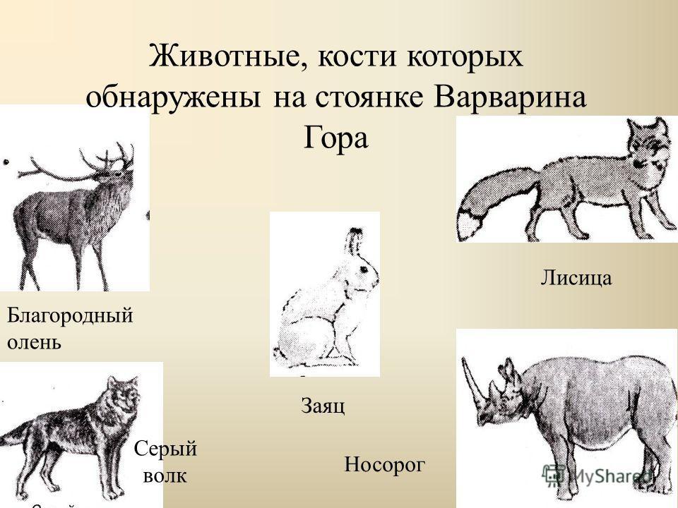 Животные, кости которых обнаружены на стоянке Варварина Гора Благородный олень Серый волк Заяц Лисица Носорог