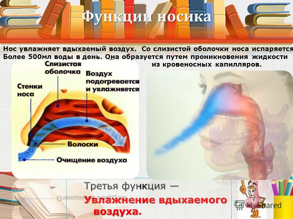 Функции носика Третья функция Третья функция Увлажнение вдыхаемого воздуха Увлажнение вдыхаемого воздуха. Нос увлажняет вдыхаемый воздух. Со слизистой оболочки носа испаряется Более 500мл воды в день. Она образуется путем проникновения жидкости из кр