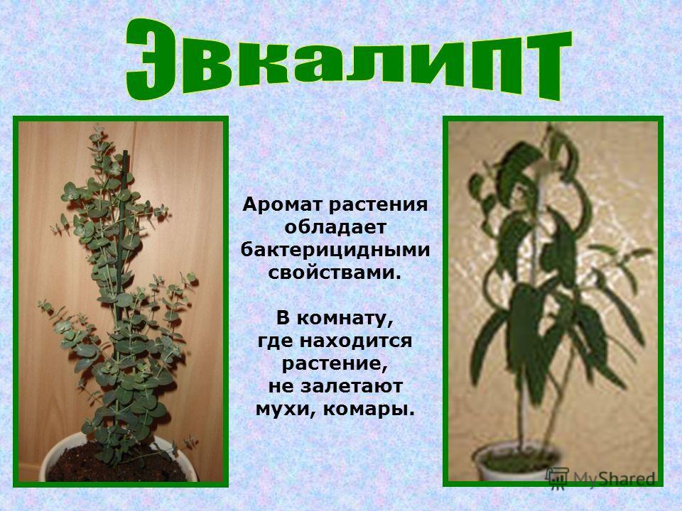 Аромат растения обладает бактерицидными свойствами. В комнату, где находится растение, не залетают мухи, комары.