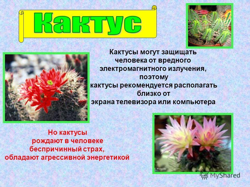 Кактусы могут защищать человека от вредного электромагнитного излучения, поэтому кактусы рекомендуется располагать близко от экрана телевизора или компьютера Но кактусы рождают в человеке беспричинный страх, обладают агрессивной энергетикой
