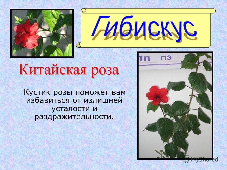 Кустик розы поможет вам избавиться от излишней усталости и раздражительности.