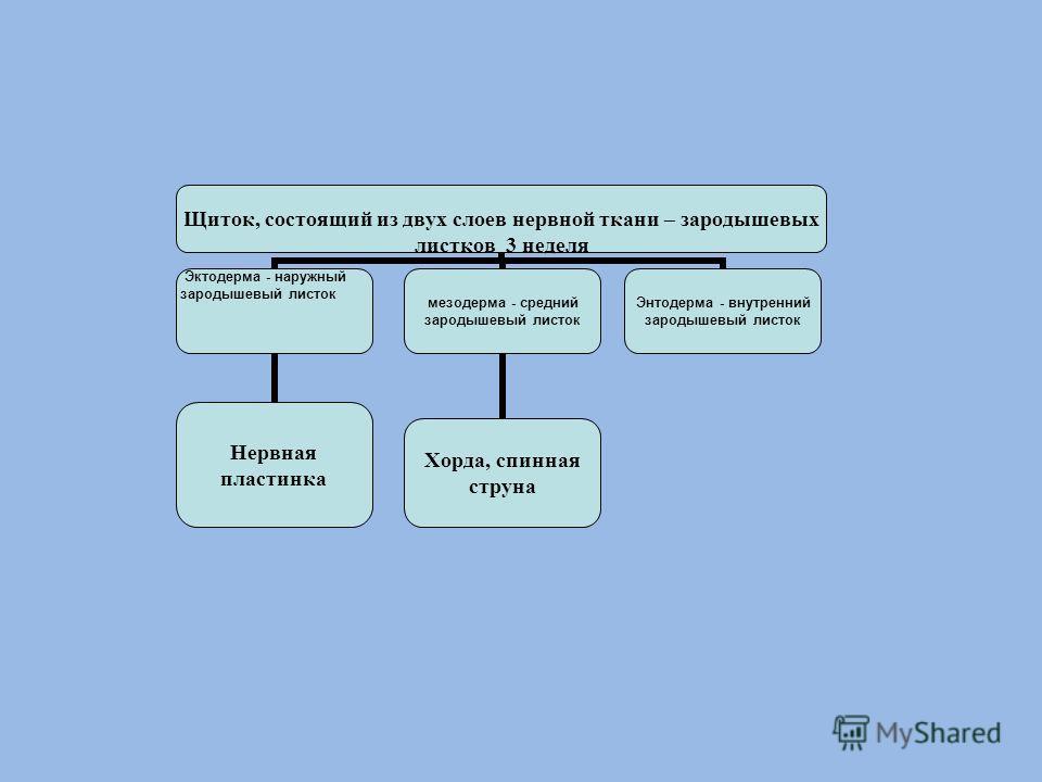 Щиток, состоящий из двух слоев нервной ткани – зародышевых листков 3 неделя Эктодерма - наружный зародышевый листок Нервная пластинка мезодерма - средний зародышевый листок Хорда, спинная струна Энтодерма - внутренний зародышевый листок