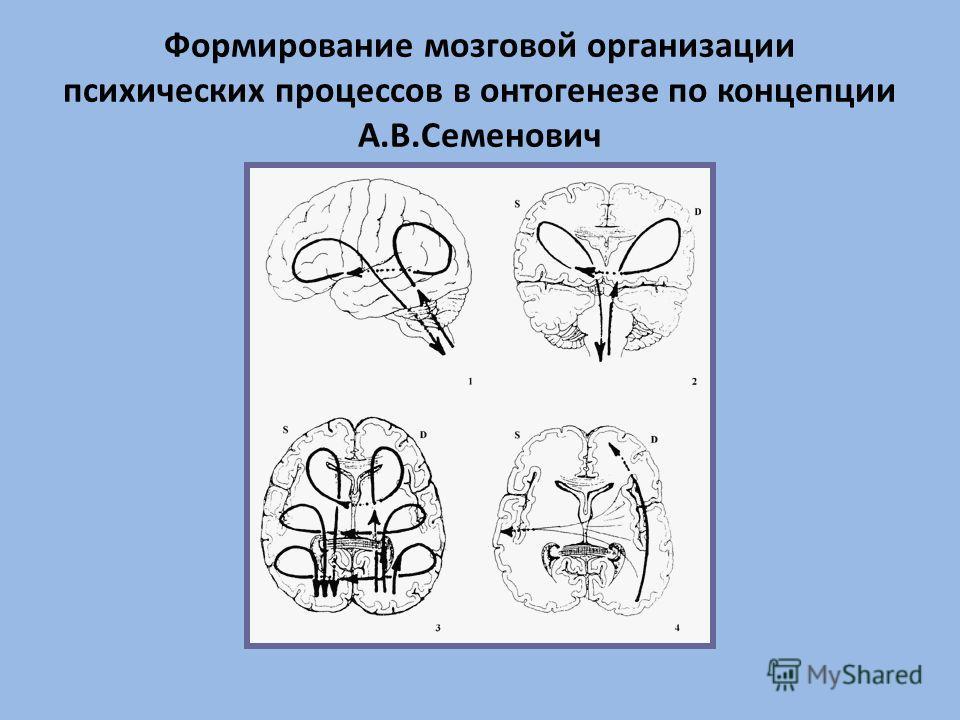 Формирование мозговой организации психических процессов в онтогенезе по концепции А.В.Семенович