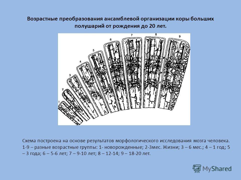 Возрастные преобразования ансамблевой организации коры больших полушарий от рождения до 20 лет. Схема построена на основе результатов морфологического исследования мозга человека. 1-9 – разные возрастные группы: 1- новорожденные; 2-3мес. Жизни; 3 – 6