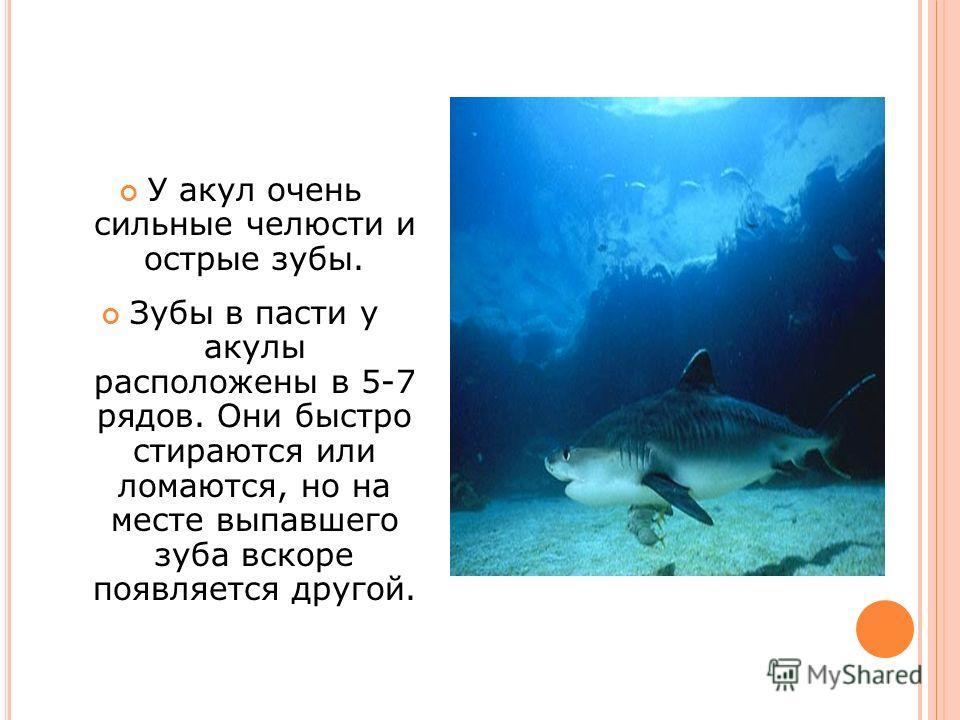 У акул очень сильные челюсти и острые зубы. Зубы в пасти у акулы расположены в 5-7 рядов. Они быстро стираются или ломаются, но на месте выпавшего зуба вскоре появляется другой.