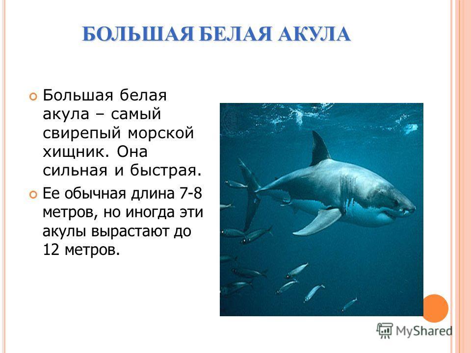 БОЛЬШАЯ БЕЛАЯ АКУЛА БОЛЬШАЯ БЕЛАЯ АКУЛА Большая белая акула – самый свирепый морской хищник. Она сильная и быстрая. Ее обычная длина 7-8 метров, но иногда эти акулы вырастают до 12 метров.