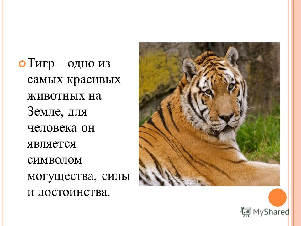 Тигр – одно из самых красивых животных на Земле, для человека он является символом могущества, силы и достоинства.