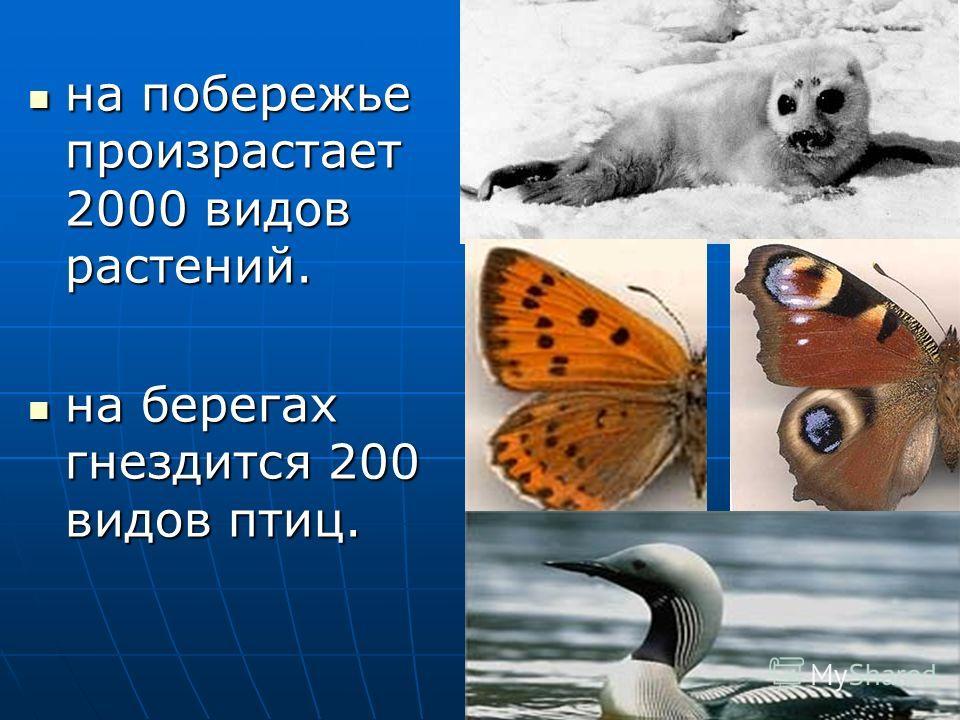 на побережье произрастает 2000 видов растений. на побережье произрастает 2000 видов растений. на берегах гнездится 200 видов птиц. на берегах гнездится 200 видов птиц.