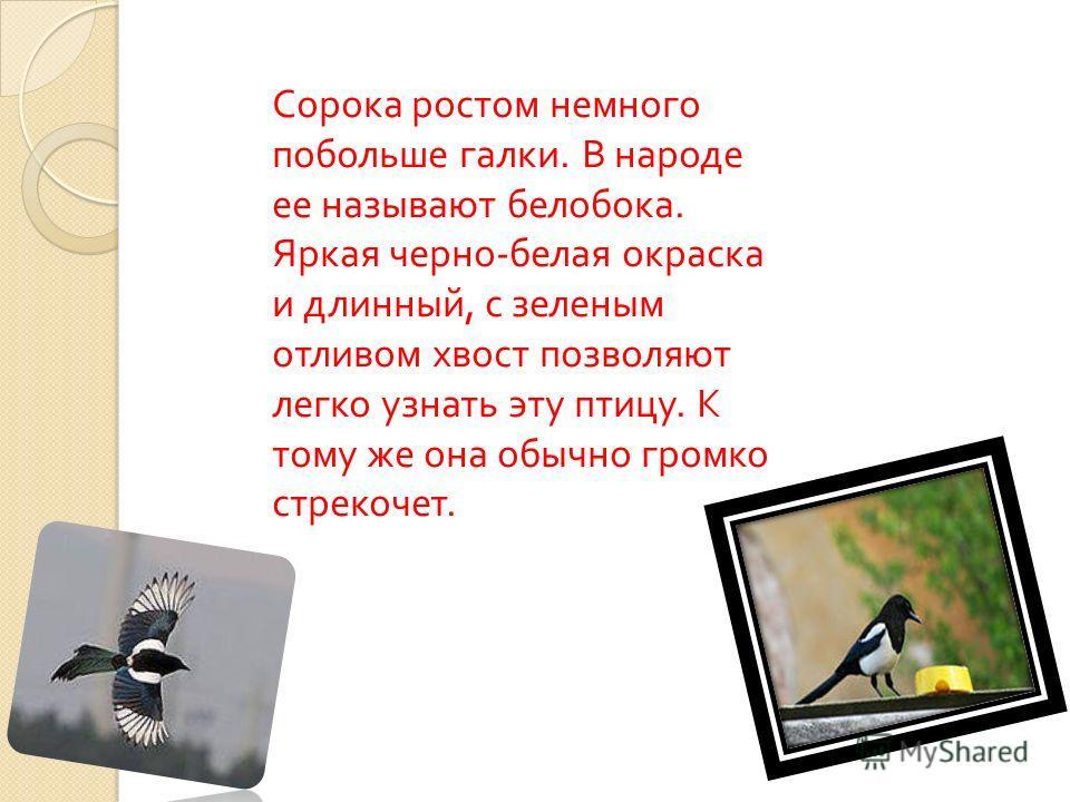 Сорока ростом немного побольше галки. В народе ее называют белобока. Яркая черно - белая окраска и длинный, с зеленым отливом хвост позволяют легко узнать эту птицу. К тому же она обычно громко стрекочет.