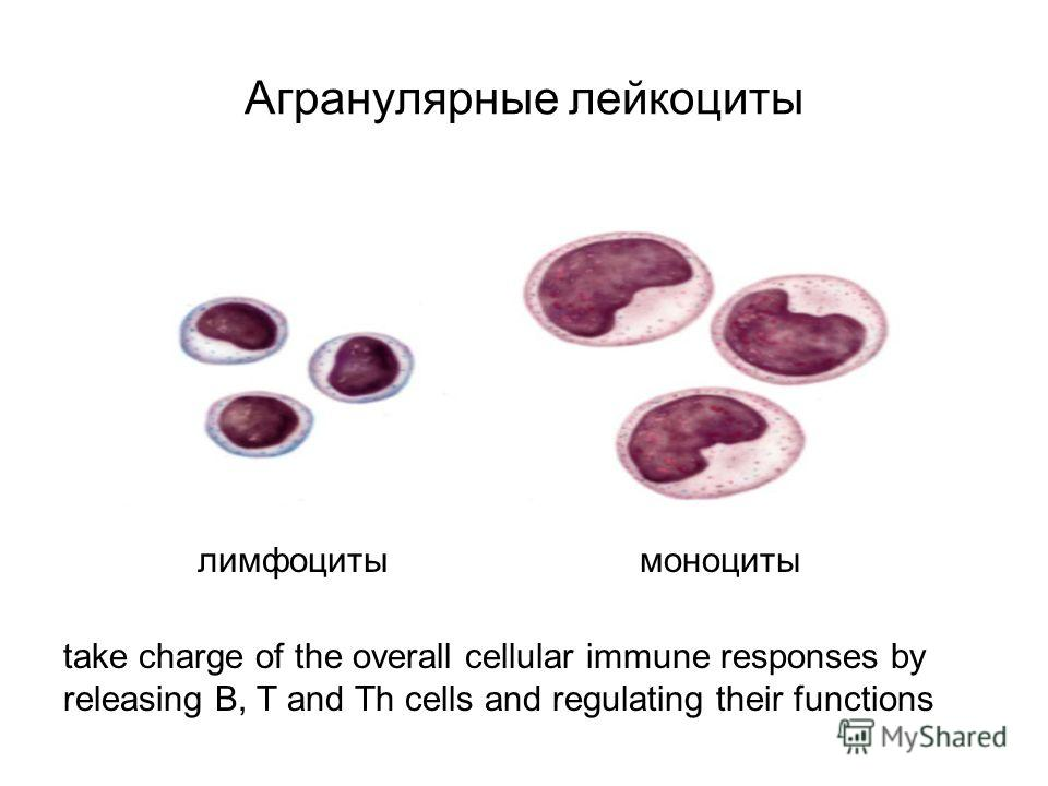 Агранулярные лейкоциты take charge of the overall cellular immune responses by releasing B, T and Th cells and regulating their functions лимфоцитымоноциты