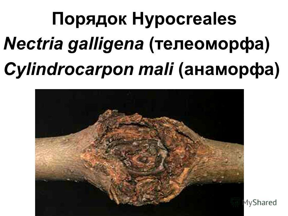 Порядок Hypocreales Nectria galligena (телеоморфа) Сylindrocarpon mali (анаморфа)