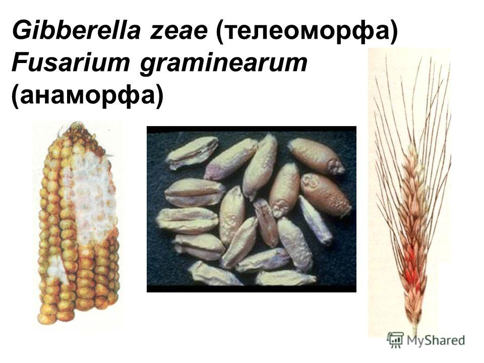 Gibberella zeae (телеоморфа) Fusarium graminearum (анаморфа)