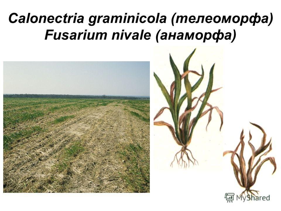 Calonectria graminicola (телеоморфа) Fusarium nivale (анаморфа)