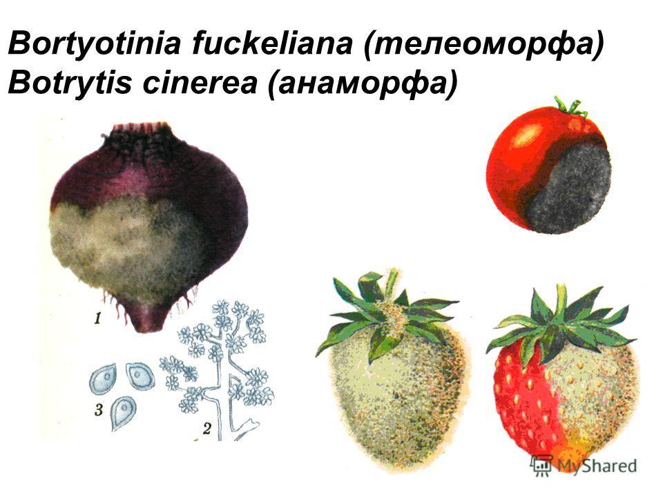 Bortyotinia fuckeliana (телеоморфа) Botrytis cinerea (анаморфа)