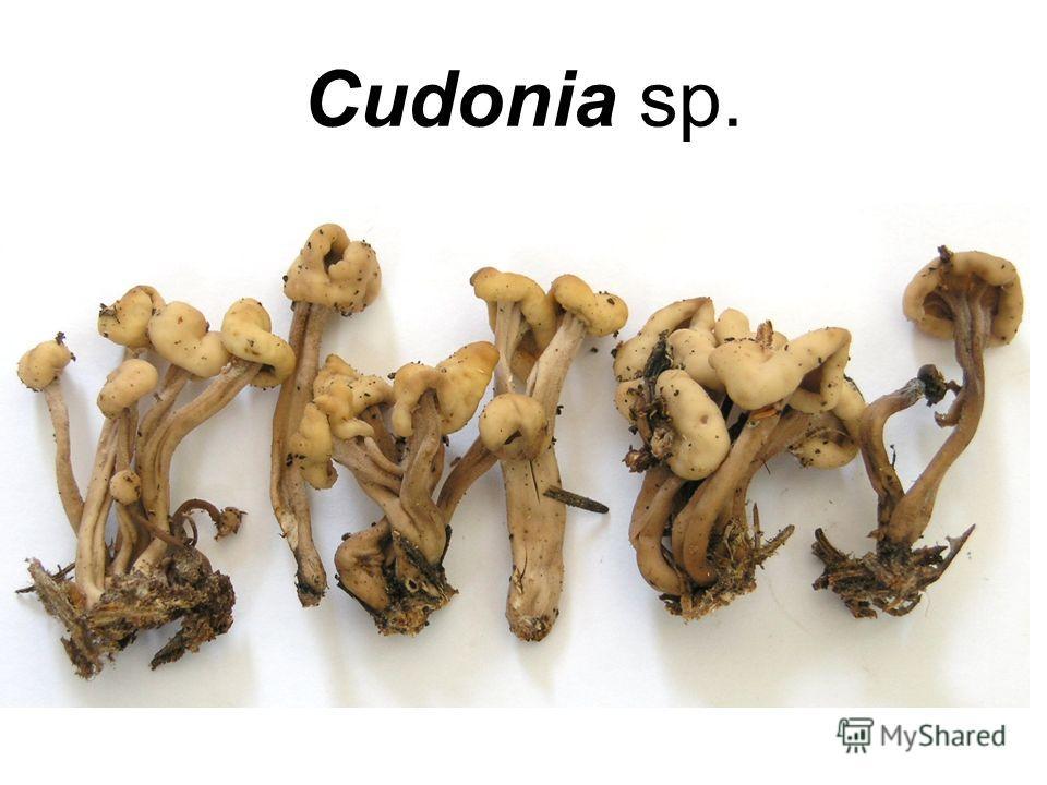 Cudonia sp.