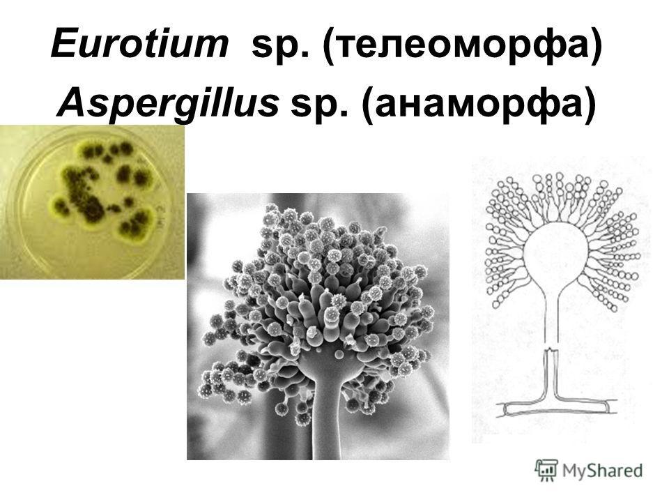 Eurotium sp. (телеоморфа) Aspergillus sp. (анаморфа)