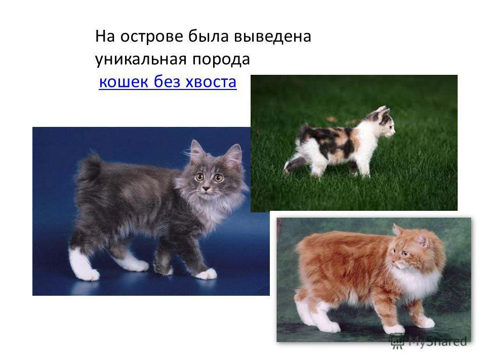 На острове была выведена уникальная порода кошек без хвоста