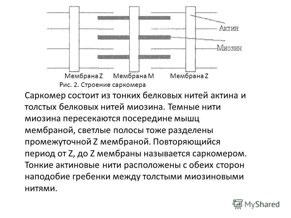 Мембрана Z Мембрана М Мембрана Z Рис. 2. Строение саркомера Саркомер состоит из тонких белковых нитей актина и толстых белковых нитей миозина. Темные нити миозина пересекаются посередине мышц мембраной, светлые полосы тоже разделены промежуточной Z м