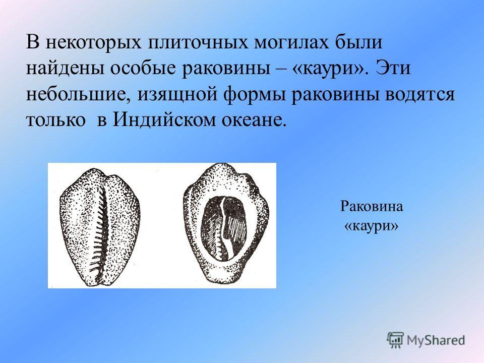 В некоторых плиточных могилах были найдены особые раковины – «каури». Эти небольшие, изящной формы раковины водятся только в Индийском океане. Раковина «каури»