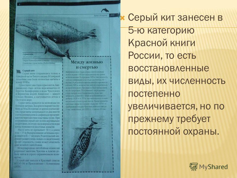 Серый кит занесен в 5-ю категорию Красной книги России, то есть восстановленные виды, их численность постепенно увеличивается, но по прежнему требует постоянной охраны.