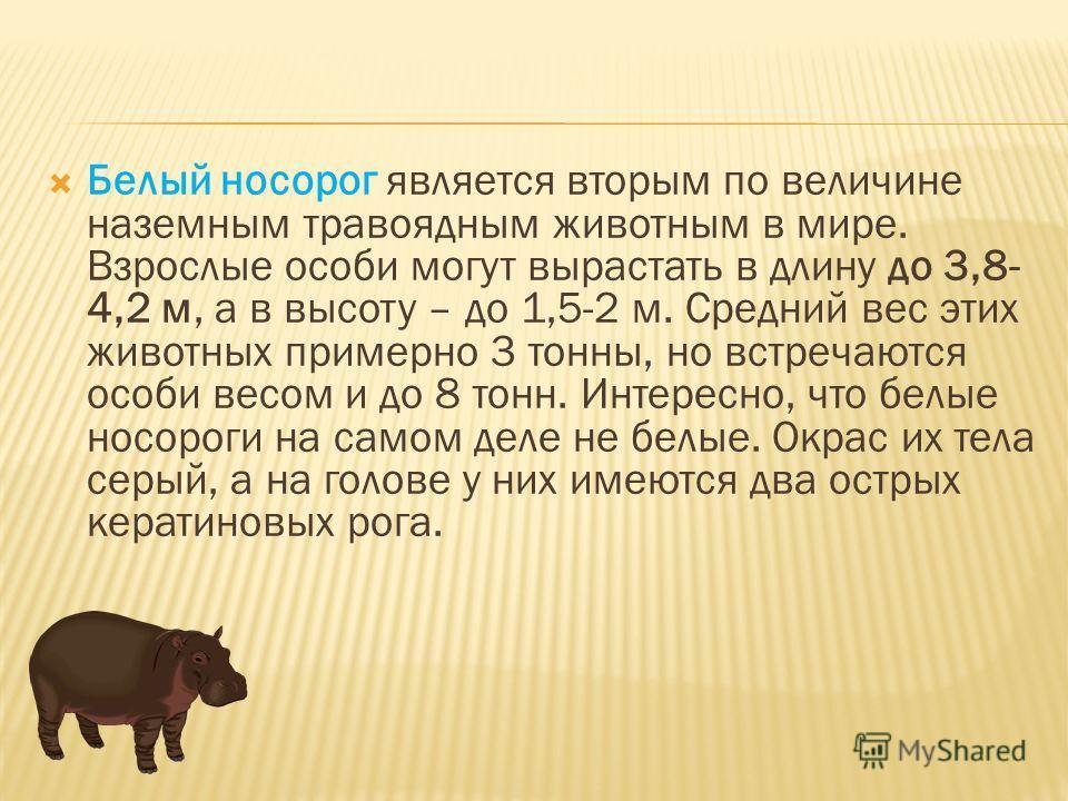 Белый носорог является вторым по величине наземным травоядным животным в мире. Взрослые особи могут вырастать в длину до 3,8- 4,2 м, а в высоту – до 1,5-2 м. Средний вес этих животных примерно 3 тонны, но встречаются особи весом и до 8 тонн. Интересн