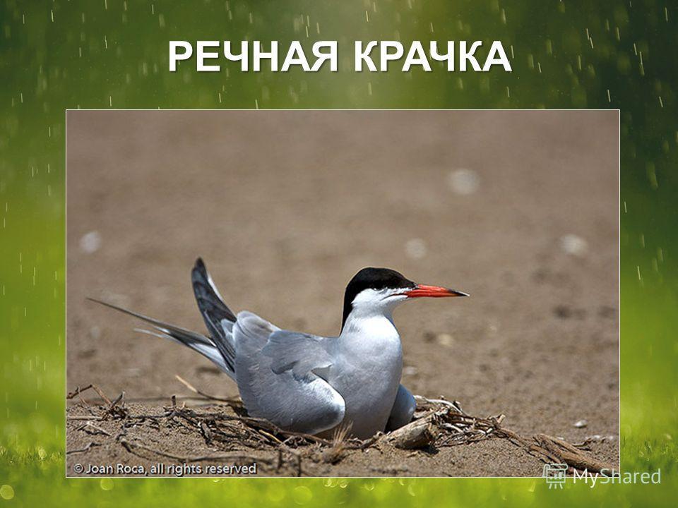 РЕЧНАЯ КРАЧКА