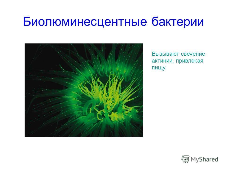 Биолюминесцентные бактерии Вызывают свечение актинии, привлекая пищу.