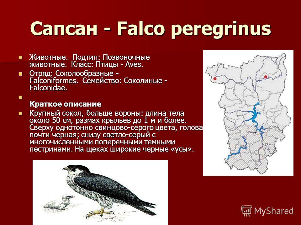 Сапсан - Falco peregrinus Животные. Подтип: Позвоночные животные. Класс: Птицы - Aves. Животные. Подтип: Позвоночные животные. Класс: Птицы - Aves. Отряд: Соколообразные - Falconiformes. Семейство: Соколиные - Falconidae. Отряд: Соколообразные - Falc