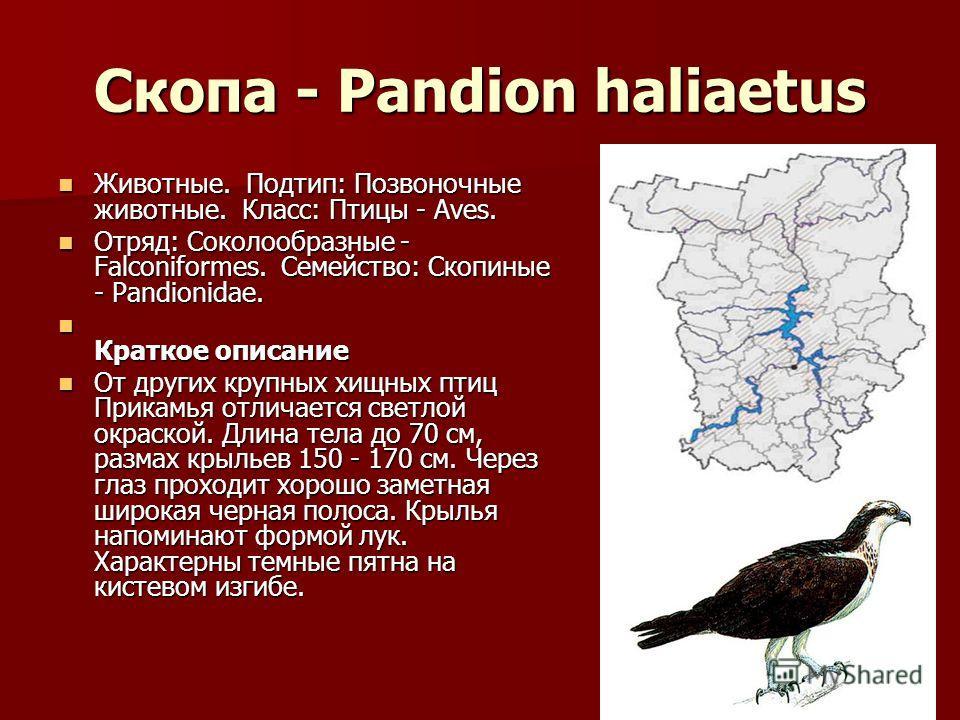 Скопа - Pandion haliaetus Животные. Подтип: Позвоночные животные. Класс: Птицы - Aves. Животные. Подтип: Позвоночные животные. Класс: Птицы - Aves. Отряд: Соколообразные - Falconiformes. Семейство: Скопиные - Pandionidae. Отряд: Соколообразные - Falc