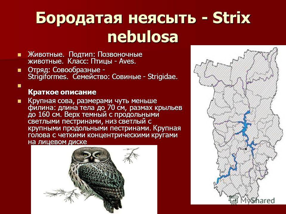 Бородатая неясыть - Strix nebulosa Животные. Подтип: Позвоночные животные. Класс: Птицы - Aves. Животные. Подтип: Позвоночные животные. Класс: Птицы - Aves. Отряд: Совообразные - Strigiformes. Семейство: Совиные - Strigidae. Отряд: Совообразные - Str