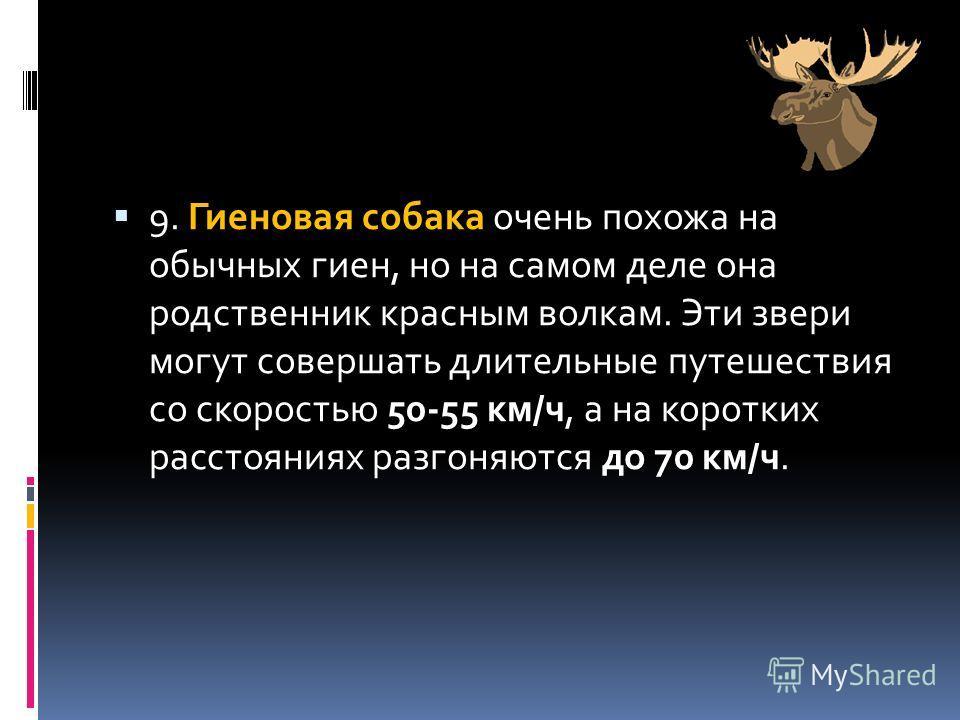9. Гиеновая собака очень похожа на обычных гиен, но на самом деле она родственник красным волкам. Эти звери могут совершать длительные путешествия со скоростью 50-55 км/ч, а на коротких расстояниях разгоняются до 70 км/ч.