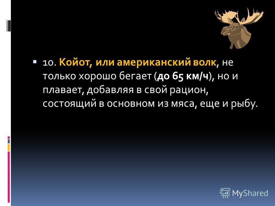 10. Койот, или американский волк, не только хорошо бегает (до 65 км/ч), но и плавает, добавляя в свой рацион, состоящий в основном из мяса, еще и рыбу.
