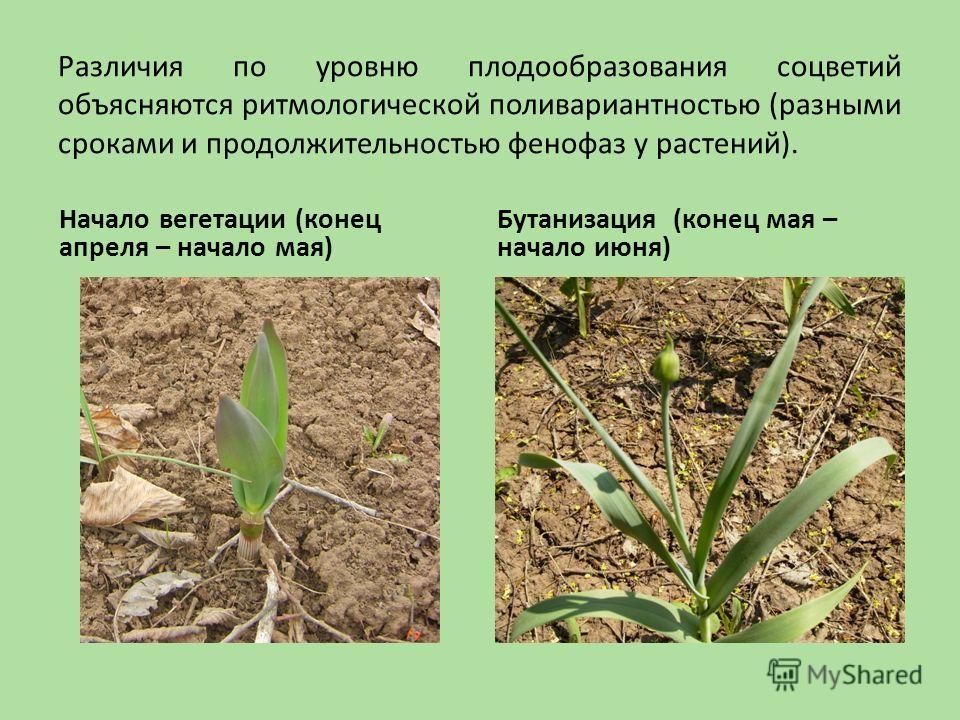 Различия по уровню плодообразования соцветий объясняются ритмологической поливариантностью (разными сроками и продолжительностью фенофаз у растений). Начало вегетации (конец апреля – начало мая) Бутанизация (конец мая – начало июня)