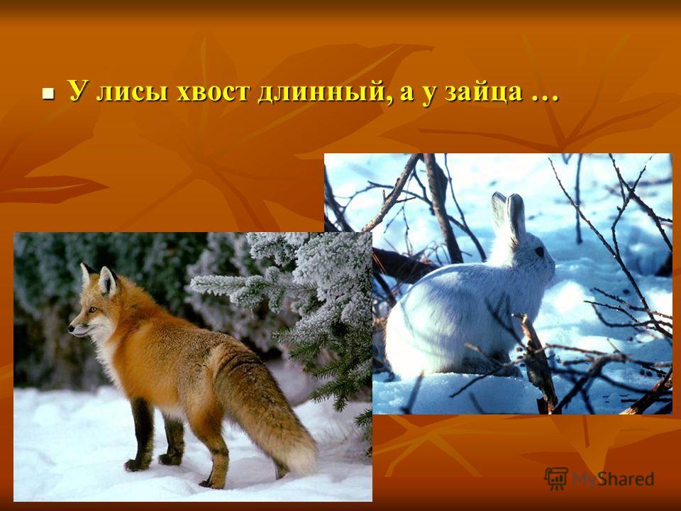 У лисы хвост длинный, а у зайца … У лисы хвост длинный, а у зайца …