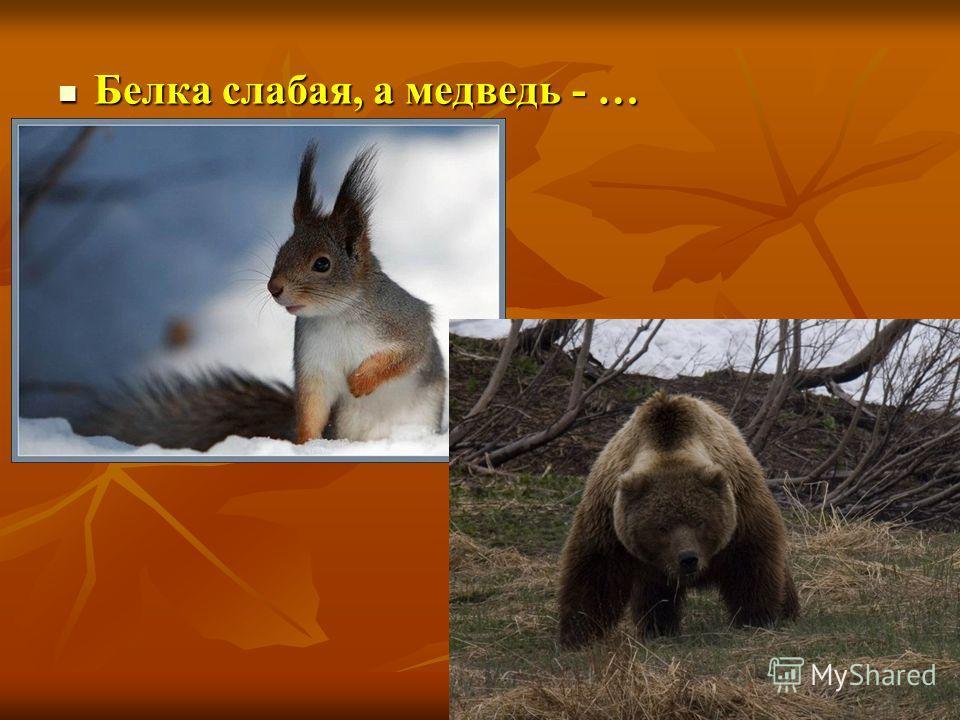 Белка слабая, а медведь - … Белка слабая, а медведь - …